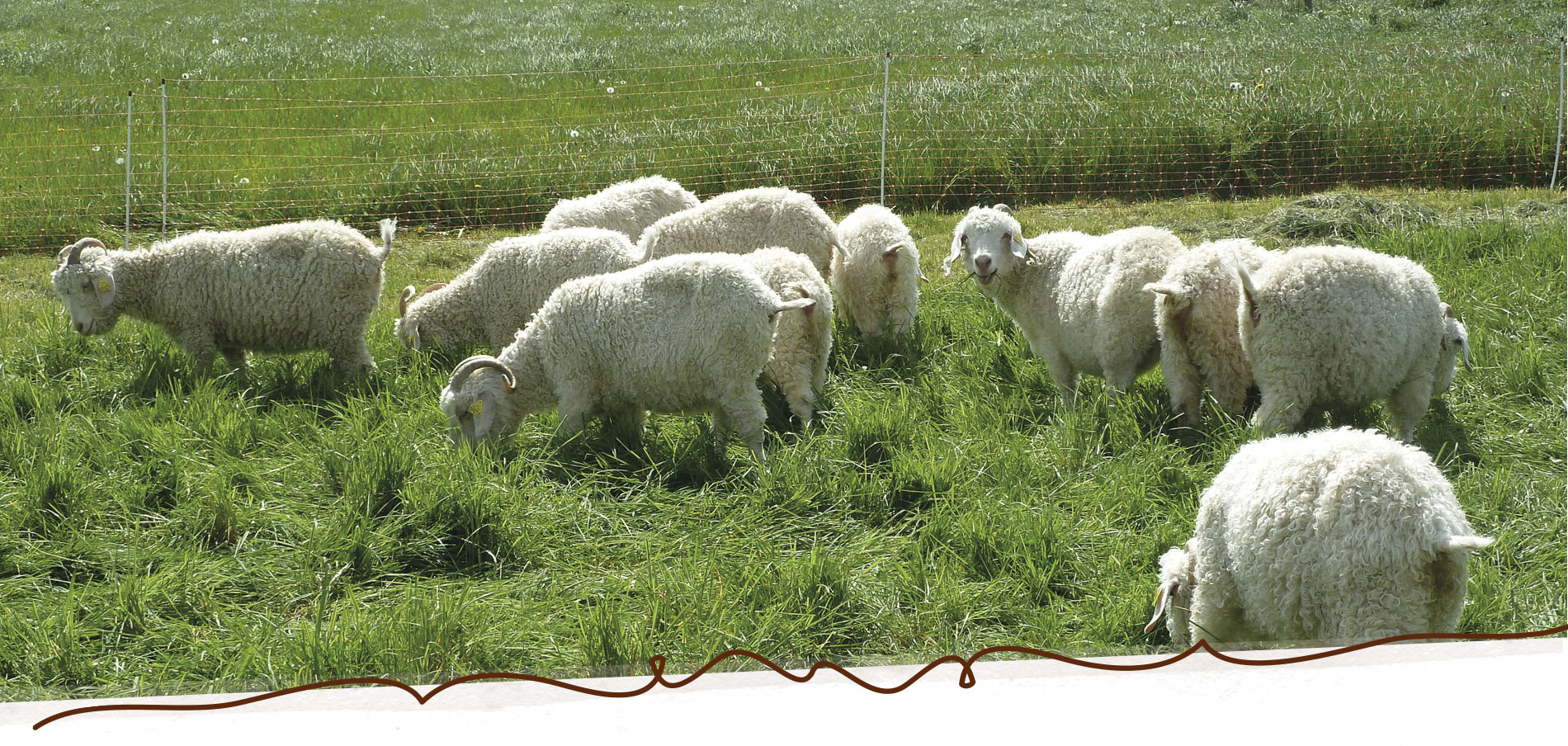 chèvres angora Mohair du Maine