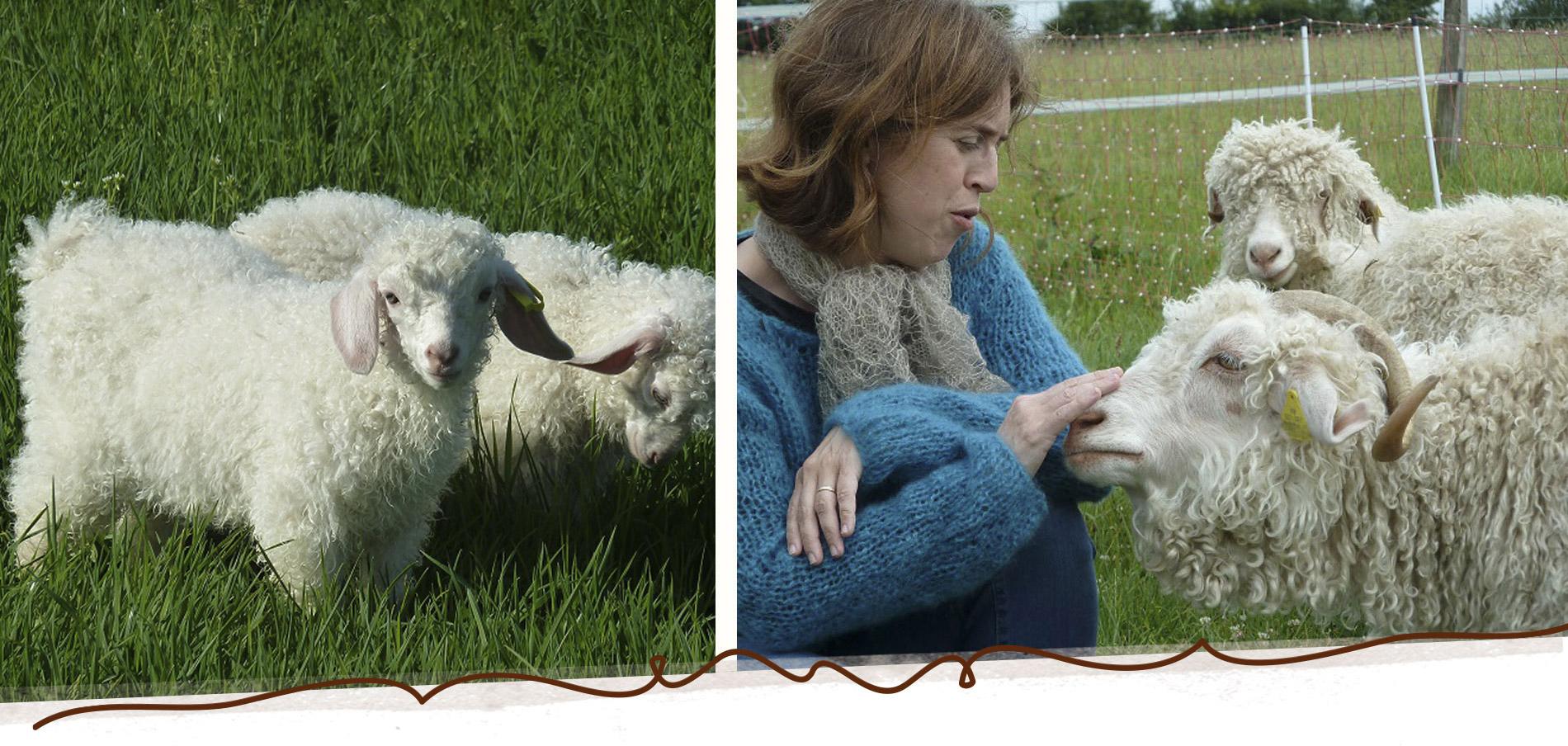 ferme de chèvres angora