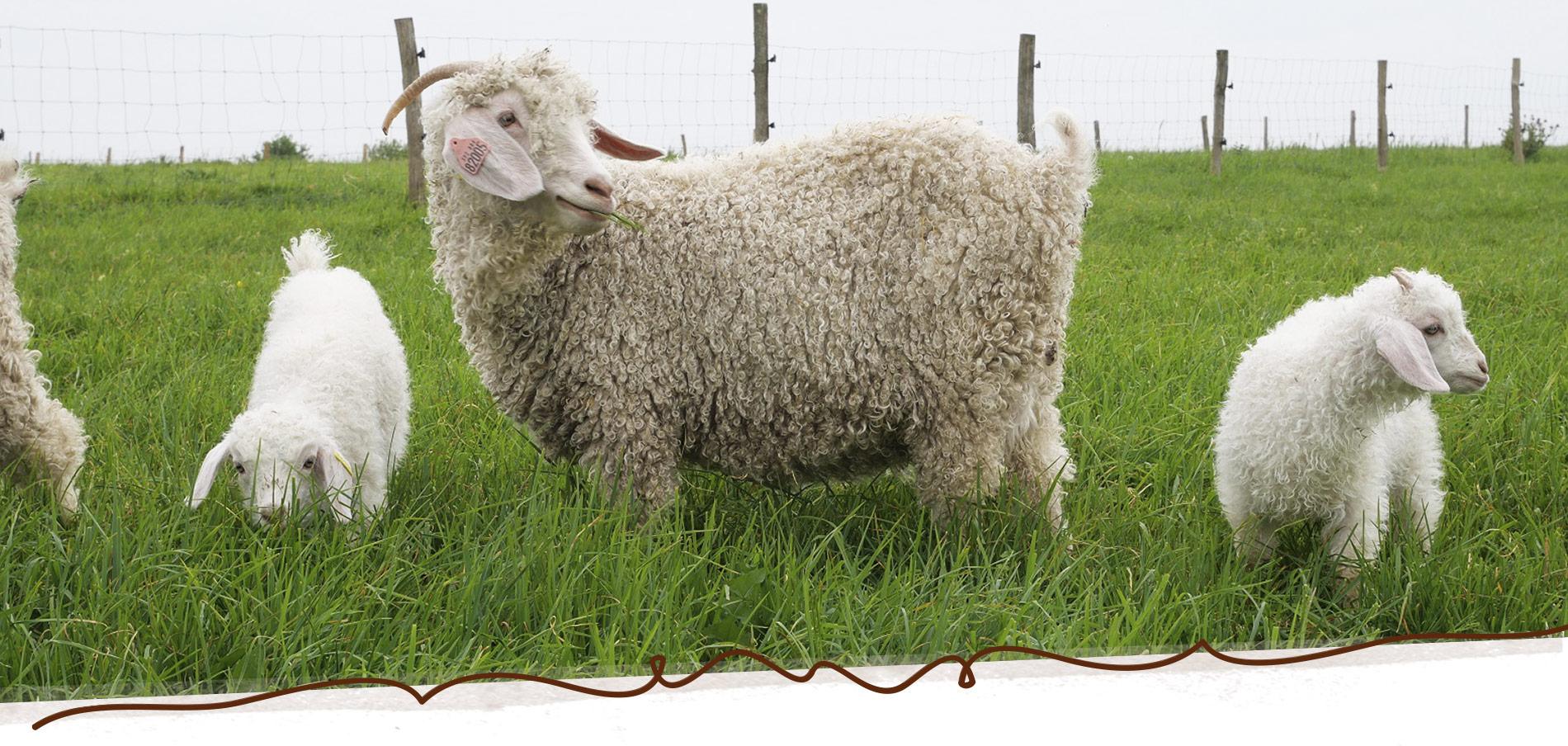 élevage de chèvre angora en France