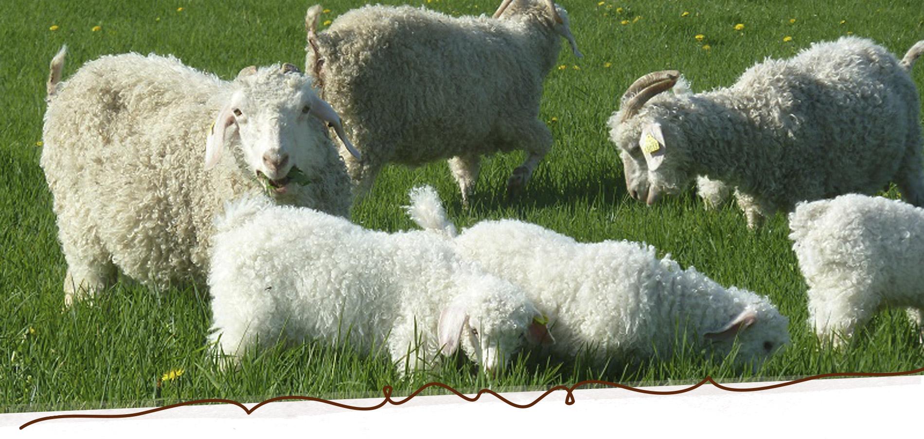 Chèvres Mohair du Maine
